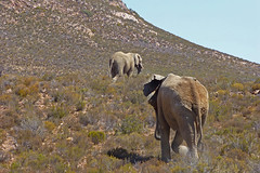 Aquilla Nature Reserve (NorthernLittlePenguin) Tags: elephant southafrica lion zebra giraffe springbok gamereserve aquilla