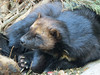 Wolverine (bookworm1225) Tags: zoo october 2014 minnesotazoo northerntrail tropicstrail
