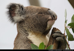 Koala, Australia (JH_1982) Tags: life bear new sleeping wild cute nature smile leaves animal wales eating sleep wildlife south sydney smiles australia koala nsw eucalypt australien  australie      cinereus phascolarctos     sdney