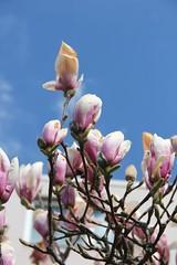 Magnolien unter blauem Himmel (Poesia's Picture's) Tags: spring april magnolien 2015 frhling
