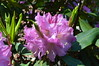 lavender girl x blue peter (David A's Photos) Tags: flowers canada bc may columbia rhododendron convention british ars sidney rhododendrons 2015 rhodies americanrhododendronsociety lavendergirlxbluepeter