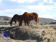 Grazing Horses (halseike) Tags: ranch horses horse mountain grass high colorado farm country grazing