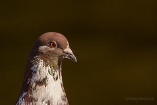 Pigeon (Columba livia) portrait