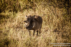 Warthog In The Okavango Delta, Botswana