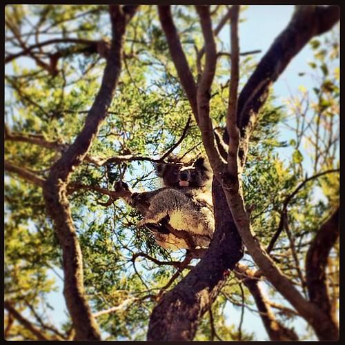 081/365 • how much can a koala bear? Beyond cute - I've never seen a koala in the wild before! • #081_2015 #koala #australia #frenchisland #autumn2015 #birthday #granddayout #bear