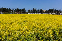 Canola Flower Fields (Hirotomo Ema) Tags: yellow japan train sony sigma jr fukuoka nex7