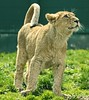 Young Lion (Gary Wilson แกรี่ วิลสัน) Tags: dublin cute nature beautiful animal gardens cat canon asian mammal photography eos zoo cub photo feline europe flickr foto image leo wildlife pussy young picture bigcat 7d species endangered panther pussycat dublinzoo zoological 100400l zoologicalgardens asianlion eaza pantherleo