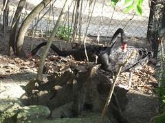LES CYGNES NOIRS (marsupilami92) Tags: paris france animal zoo frankreich ledefrance capitale 75 cygne menagerie jardindesplantes 5emearrondissement