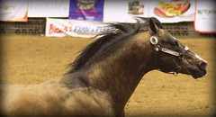 Midwest Horse Fair 2015 (megan423) Tags: horse wisconsin madison equine mhf midwesthorsefair