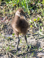 04-18-15-000006140.jpg (Lake Worth) Tags: bird nature birds animal animals canon wings florida wildlife feathers wetlands everglades waterbirds southflorida canonef70200mmf28lisiiusmlens