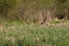UMRNF & WR (turn off your computer and go outside) Tags: aixsponsa birdsofminnesotaandwisconsinpage63 may umrnfwr uppermississippirivernationalfishandwildliferefuge bird clearday critter inflight outdoors spring springtime westernwisconsin wildliferefuge woodduck