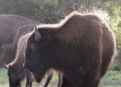 Bison and Bugs 7-12-16 (Larry Smith2010) Tags: oklahoma bugs wichitamountains bison wichitamountainswildliferefuge larrysmith