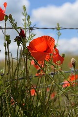 Poppies in bloom (smcnally24601) Tags: ditchling beacon sussex national trust fields downs south england britain summer