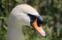 Mute Swan (themadbirdlady) Tags: muteswan cygnusolor anatidae anseriformes stirlinguniversity airthreyns8096