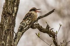 Striped Kinfisher_3253-20151016 (C&P_Pics) Tags: kingfishers kruger pgc skukuzacamp southafrica2015 stripedkinfisher krugerpark mpumalanga southafrica za