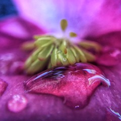 Water Drop on a Begonia (ikilledkenny1029) Tags: flower closeup macro purple waterdrop drop droplet nature