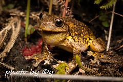 Peron's Tree Frog (Litoria peronii) (peter soltys) Tags: herping petersoltys adventure photobycy australia nsw wildlife wild nature photography amazing naturephotography exitement reptiles reptilia peronstreefrog litoriaperonii litoria