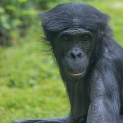 2016-07-07-0138 (BZD1) Tags: bonobo animal synapsida mammal prim haplorhini hominidae hominini pan nature koelnerzoo panpaniscus