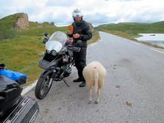 A friendly sheep it is. (topzdk) Tags: norway mc motorcycle honda bmw 2016 summer austagder vestagder nature