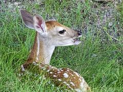 Resting Fawn (brucecarlson66) Tags: red baby brown white nature beauty grass animal austin fur nose eyes weeds texas outdoor country hill central young ears spot neighborhood deer fawn springs environment nestle dripping alert pest tailed whitetailed wary reddish vigilant odocoileus virginianus texanus