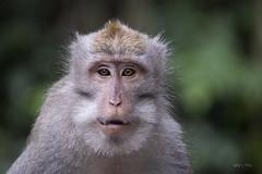Monkey (MassiVerdu) Tags: monkey scimmia monkeyforest foresta jungle giungla bali ubud indonesia indonesian asia asian wild wildphotography wildexploration natura nature naturaincontaminata travel travelphoto travelphotography travelpicture viaggio fotografiadiviaggio explored explorer exploration animali anima animals animal animale