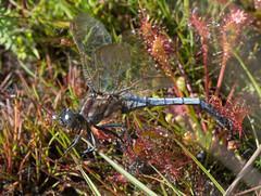 Keeled skimmer on sundew (gillian.pullinger) Tags: dragonfly keeledskimmer sundew carnivorousplant nature wildlife insect macro surrey thursleycommon