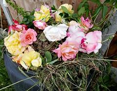 The remains of the day (Peter Denton) Tags: rose bloom flower deadhead flora england peterdenton compost garden gardening lumixdmclx100