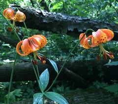 Michigan Lilies (Stylurus) Tags: michigan prairie oaks lodi township plant lilly lily lilium michiganense
