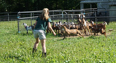 2016 - 07 - 17 - Goat Making a Break for It (Mississippi Snopes) Tags: summer woman girl boots blonde ponytail jeanshorts younglady mountainmeadows manchestervermont chasingbabygoats