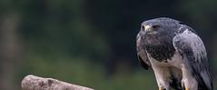 South American Grey Eagle (abritinquint Natural Photography) Tags: bird vogel natural nature nikon d750 telephoto 300mm pf f4 300mmf4 300f4 nikkor teleconverter tc17eii pfedvr