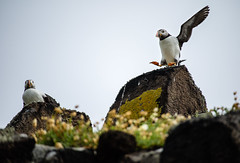 Puffins (staying alive) on the Isle of May (Terekhova) Tags: birds scotland fife may forth puffin puffins isle firth atlanticpuffin fraterculaarctica
