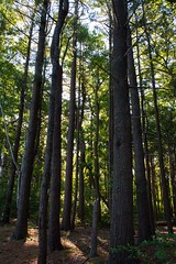Forest (E. Aguedo) Tags: park new trees summer england green forest island ngc trunks rhode warwick goddard