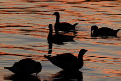 Birds in sunset light (evisdotter) Tags: birds fglar silhouetts siluetter vitkindadegss barnaclegoose sunset sunsetlight water reflections sooc nature evening