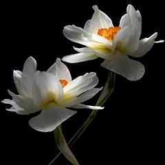 Daffodil Duo (Pixel Fusion) Tags: daffodil flower flora nature macro nikon d600