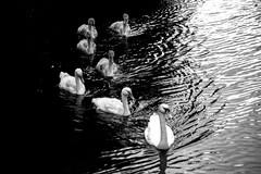Inge Hoogendoorn (ingehoogendoorn) Tags: zwaan zwanen water amsterdamsewaterleidingduinen waterleidingduinen blackandwhite contrast blacknwhite zwartwit highcontrast swan swans family gezin
