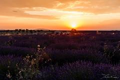 Valensole III. (Tristan K.) Tags: valensole lavande lavandes lavender flower flowers summer purple fields provence france sun sunset dusk twilight champs violet t alpesdehauteprovence 04 crpuscule nightfall