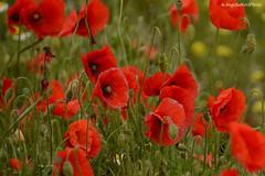 Poppies (Angelo Nori) Tags: poppies fiori angelonori nature natura verde landscape