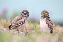 Double Trouble (Megan Lorenz) Tags: burrowingowl owl owlet bird avian birdofprey nature wild wildlife wildanimals travel florida 2016 mlorenz meganlorenz
