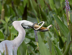 Great Blue Heron With Glass Snake (ruthpphoto) Tags: heron greatblueheron bird
