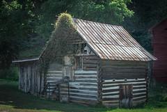 Hot tin roof... (knoxnc) Tags: trees builtin1940s nikon rustedtinroof latches logoutbuidling oldbuilding tinroof morningsun vines farmbuilding shadows d7200 logbuilding