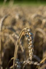 DSC_1170 (Marlon Fried) Tags: macro makro bokeh getreide cereals weizen wheat grain crops field feld