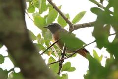 IMG_6512 (Cilmeri) Tags: birds smallbirds animals nature coedybrenin cwmhermon snowdonia eryri wales gwynedd
