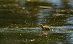 HyperDrive...catching up with mom. (Karen McQuilkin) Tags: duckling duck swim pond summer karenmcquilkin hyperdrive tetons nationalpark bird nature