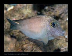 STEPcteno-marginatus0616_240214 (kactusficus) Tags: aquarium trade reef marine wrasse ctenochaetus marginatus acanthuridae tang chirurgien