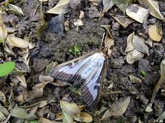 Buchsbaumznsler (Cydalima perspectalis) (MacroManni) Tags: deutschland germany nrw rheinerftkreis schmetterling falter tagfalter butterfly papillon makro macro insekten insects buchsbaumznsler