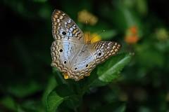 Spots (ACEZandEIGHTZ) Tags: nikon d3200 butterfly insect flying nature anartia jatrophae macro closeup depthoffield