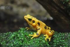 Panamanian golden frog (markusOulehla) Tags: bronxzoo nyc newyorkcity markusoulehla nikond90 citytrip thebigapple usa