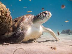 Curacao_IMG_2784 (grisufire) Tags: curacao schildkrte turtle