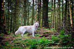 Stanage Edge 001 (Phoenix photo and craft UK) Tags: dog pet gsd german shepherd walking hiking england peaks