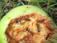 Les Fourmis (Didier Auberget Photographie) Tags: macro insecte insecta pomme apple pterygota neoptera néoptère holometabola hymenoptera apocrita aculeata vespoidea formicidae formicidé hyménoptère fourmi ant